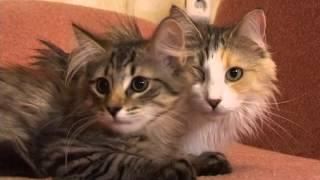 Передача про Норвежских лесных кошек (Стрим ТВ). Питомник Foresterra