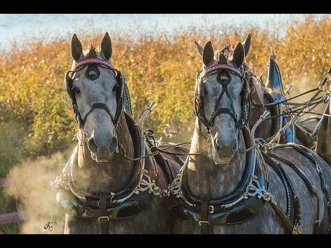 , title : 'Amazing Horse - Percheron