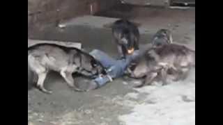 Тренировка каскадера волками
