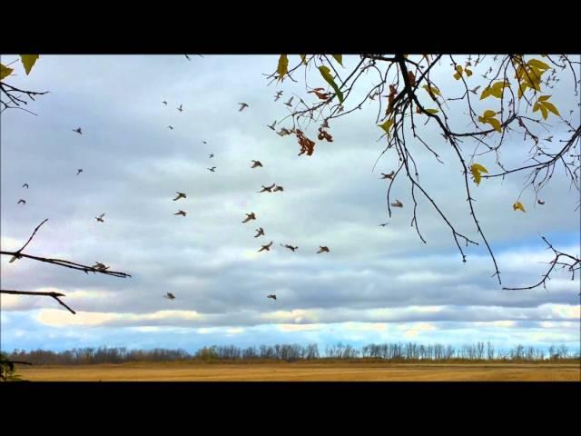 Some great field mallard hunting