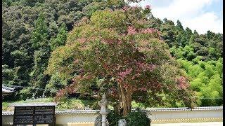 樹齢600年の百日紅さるすべりつるぎ町多聞寺