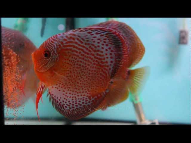 Leo-SS discus fish spawning on aquarium glass / Paletki składają ikrę na szybie akwarium