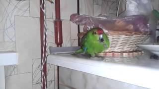 попугай хавает семечки