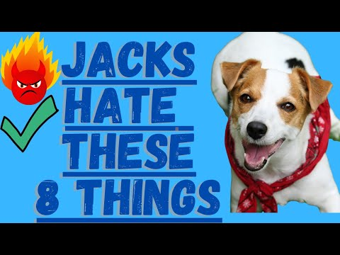 8 Things Jack Russell Terriers Absolutely Hate!