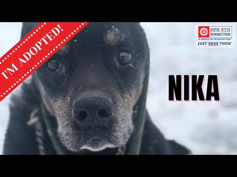 Nika, an adopted Rottweiler in Fitchburg, MA_image-1