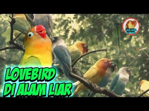 mp4 Lovebird Ngekek Di Alam Liar, download Lovebird Ngekek Di Alam Liar video klip Lovebird Ngekek Di Alam Liar