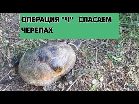 """Операция """"Ч"""".Спасение и переселение черепах."""