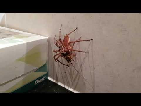 【驚愕】アシダカグモの近くにゴキブリを放り投げた結果・・・(動画あり) | ポッカキット