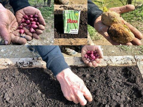 Come Coltivare in Vaso o Giardino  Patate Fave e Cipolle