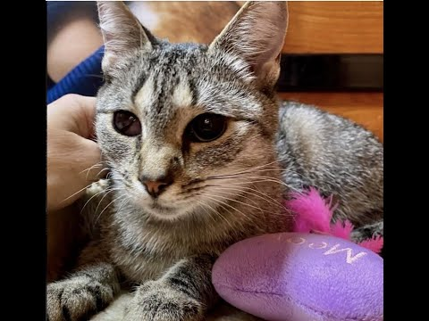 Clementine, an adopted Domestic Short Hair in Greenburgh, NY_image-1