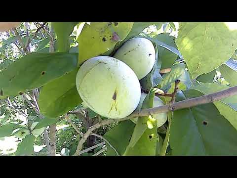 Pawpaw orchard fruit harvest time is near