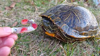 Turtles Love Candy Canes!