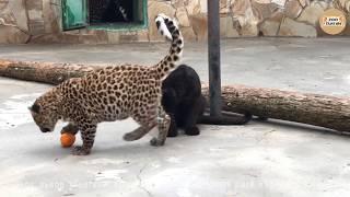 Леопардовое нападение на мандарин. Тайган. Крым. Leopard attack on the mandarin. Taigan Crimea.
