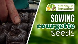 Sowing Courgette Seeds