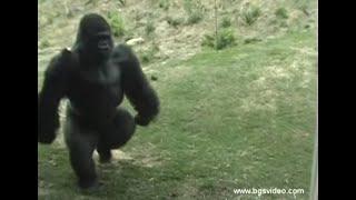Gorilla Walks/Runs Upright Like a Man (long)