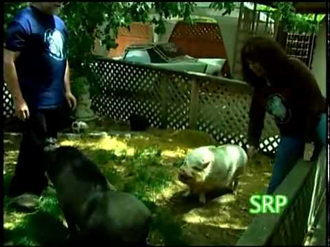 Wild About Animals -- Pot Bellied Pigs as Pets
