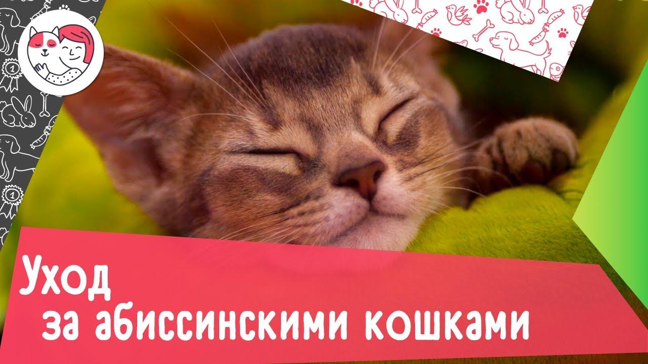 5 особенностей ухода за абиссинскими кошками