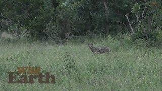 WildEarth - Sunrise Safari - 29 February 2020