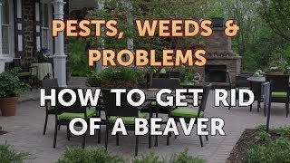 How to Get Rid of a Beaver