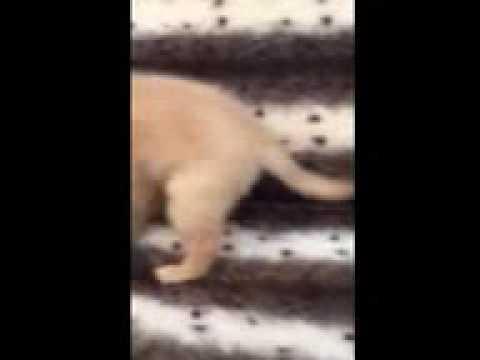 So Sweet Golden Retriever Puppy!