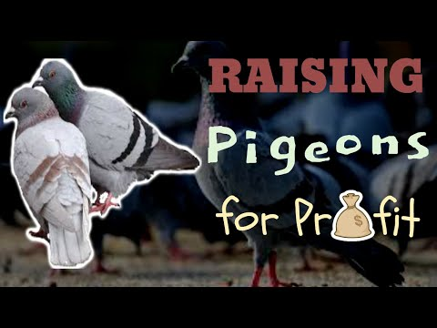 , title : 'How To Raise Pigeons For Profit