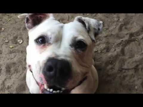CoCo, an adopted Pit Bull Terrier in Mt. Vernon, NY