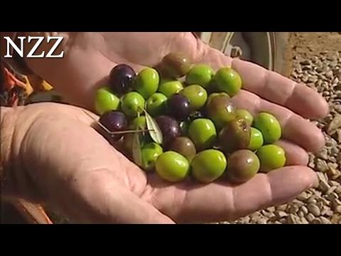 Olivenöl: Das Geschäft mit dem