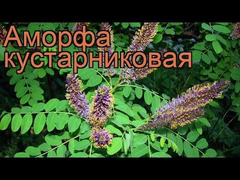 Аморфа кустарниковая (amorpha fruticosa) 🌿 кустарниковая аморфа обзор: как сажать, саженцы аморфы