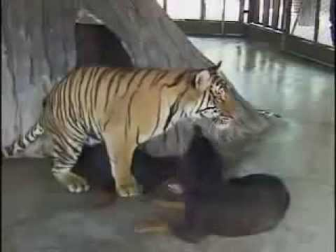 O MY GOD - Tiger and Dog Mating Its completely real