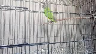 parrots for sale in pakistan - 免费在线视频最佳电影电视节目