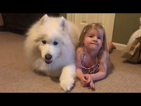 Lexi The Samoyed And Sister Nika Howl!