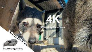 【Animal FPV】4K Washing Raccoons たらいを探るアライグマたち 【アニマルFPV】