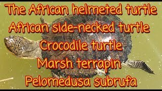 The African helmeted turtle; Crocodile turtle; Marsh terrapin Pelomedusa subrufa