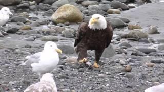 Орел, чайки и ворона