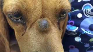 PUScam!! Beware!! Graphic!! K9 with sebaceous cyst lanced on bridge of nose in SloMo