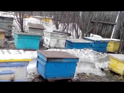 Первый очистительный облет пчелок в Свердловской области 29 марта 2016 года.