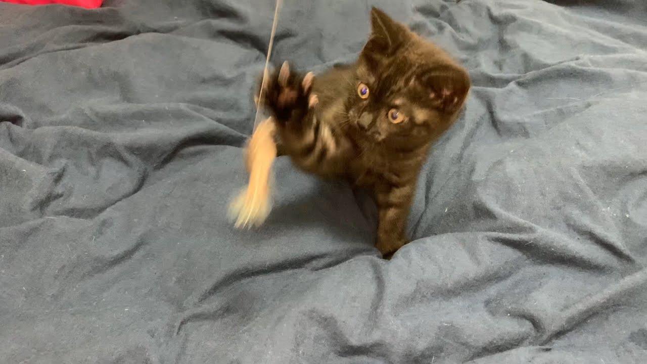 【子猫】ちっちゃい♡子猫のクッキーちゃんがやってきた!!【スコティッシュフォールド】