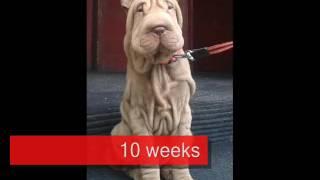 Shar pei Balú growing up step by step 1-5 months