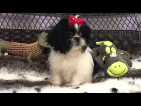 Sassy, unique designer Peke-Tzu puppy