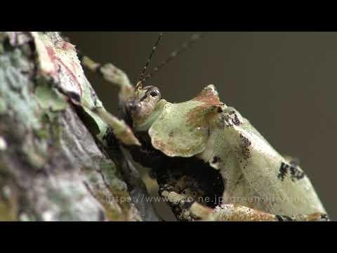 擬態 苔そっくりなキリギリス Lichen mimic katydid Dysonia sp.
