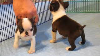 Anna X Chippy AKC Boston Terrier Puppies 6+ Weeks