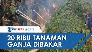 Lahan Ganja yang Tanam 20.000 Batang di Lamteuda Aceh Besar Dibakar BNN, Berat Basahnya 15 Ton