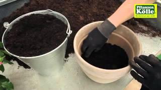 Rosen In Ein Gefäß Einpflanzen | Pflanzen Kölle