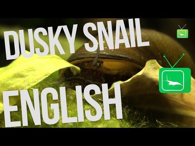 Dusky Snail - Neritina puligera Snail | Snail | GarnelenTv