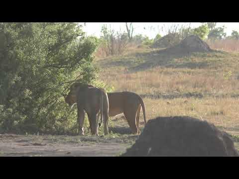 16102019 Hwange NP Big Tom two lioness