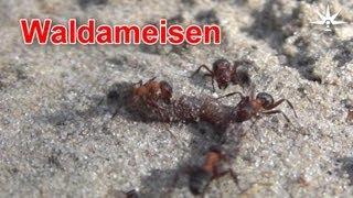 preview picture of video 'Waldameisen. Rund um die Römerschanze, Rangsdorf, 21. Juni 2013'
