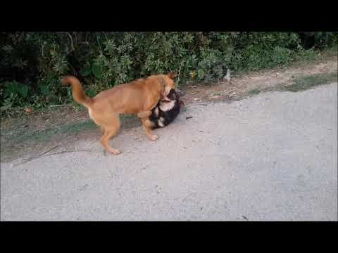 Indian Dog Dangerous Fight
