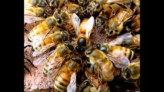 Watch How Bees Accept And Reject Queens, Don't Miss This