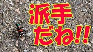 小っちゃいけど派手な虫ハンミョウナミハンミョウ・道教え~日本平運動公園にて~