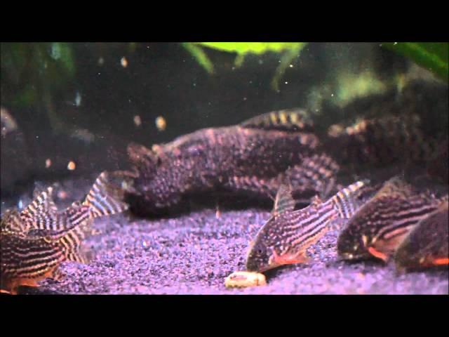 Corydoras Sterbai Artbecken